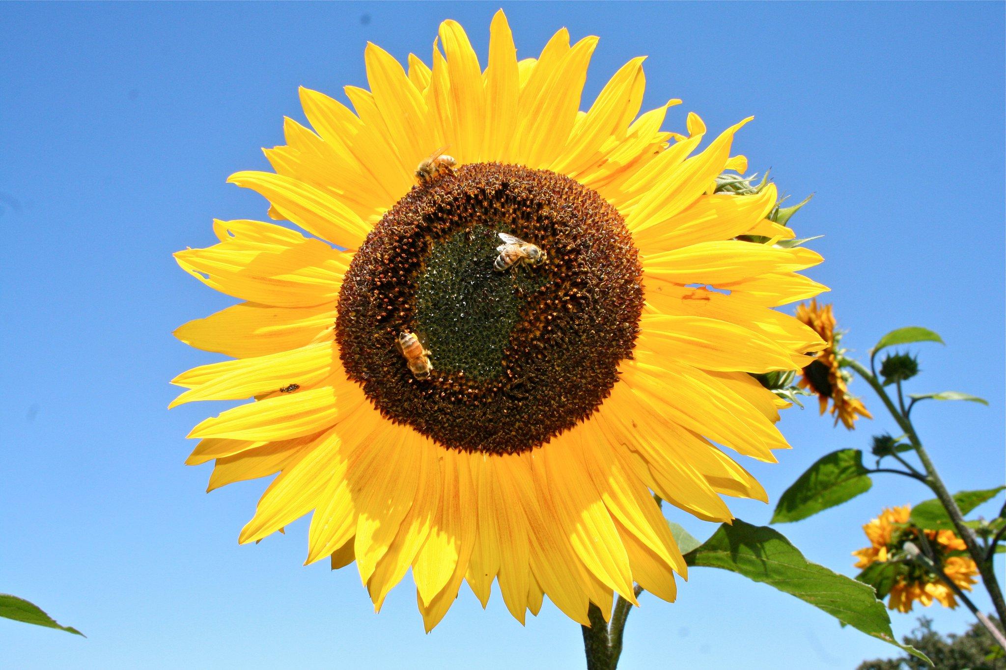 Sunflower by Lisa Reagan