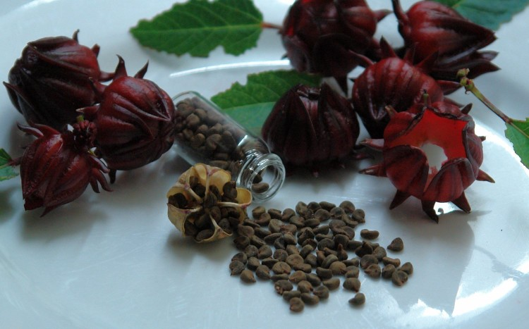 Purchase Red Roselle (Hibiscus Sabdariffa) Jamacian Sorrel - 50+ Rare Organic Heirloom Seeds in a Glass Vial with Silica Beads and Organic Cotton For Excellent Long Term Storage